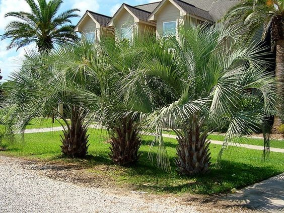 Jelly Palm - Butia Capitata